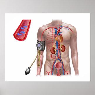 Presión arterial y sistema circulatorio póster