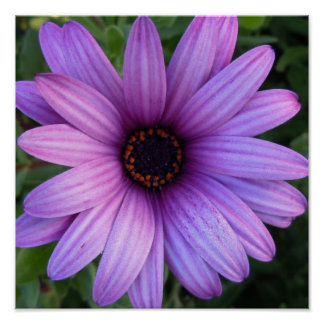 Pretty Aster Flower Poster
