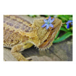 Pretty Bearded Dragon Poster