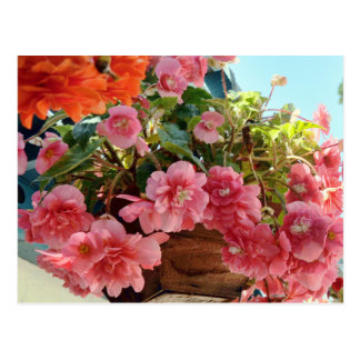 Pretty Begonia Flowers Postcard