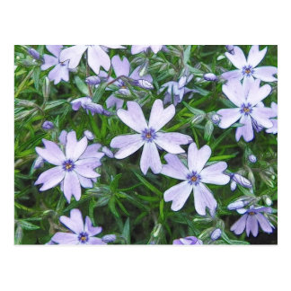Pretty Blue Creeping Phlox Postcard