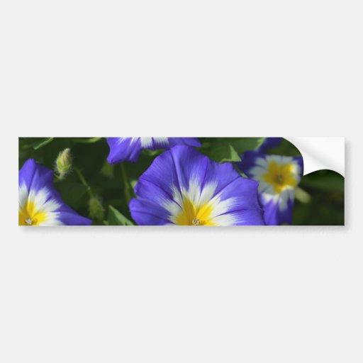 Pretty Blue Morning Glories Bumper Stickers