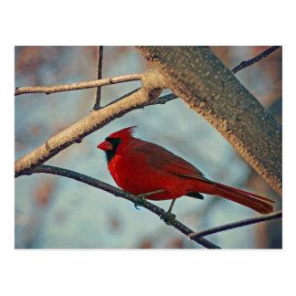 Pretty Boy Male Cardinal Postcard