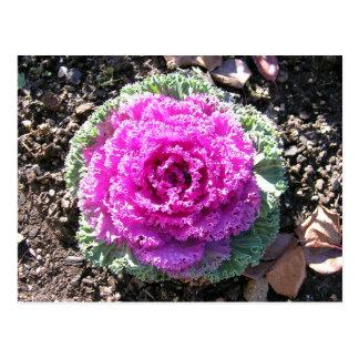 Pretty Cabbage Postcard