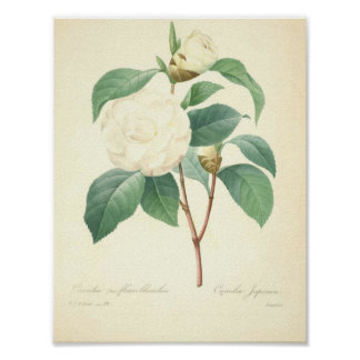 Pretty Camellia by Redoute Poster