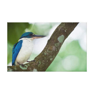 Pretty Collared Kingfisher Stretched Canvas Print