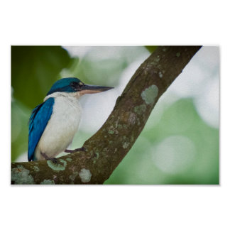 Pretty Collared Kingfisher on a treebranch Posters