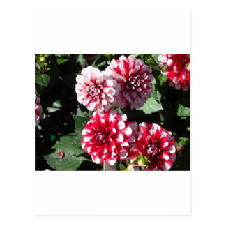 Pretty colorful red and white dahlia flowers postcard