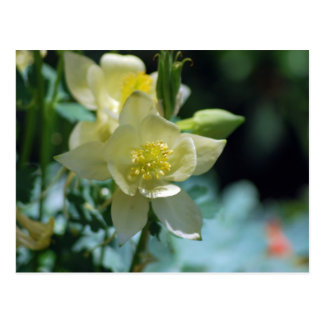 Pretty columbine flower and meaning postcard