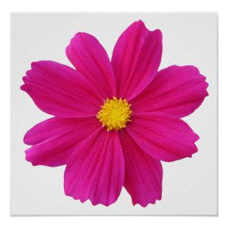 pretty cosmos flower poster