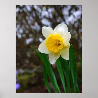 Pretty Daffodil Print