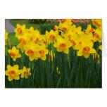 Pretty Daffodiles Greeting Card