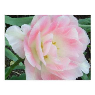 Pretty Delicate Feminine Flower White Pink Gifts Postcard