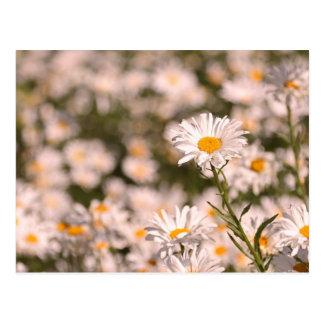 Pretty Field of Daisies Post Card
