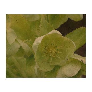 Pretty Green Helleborus Queork Photo Prints