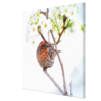 Pretty House Finch Bird in White Cherry Blossoms Canvas Print