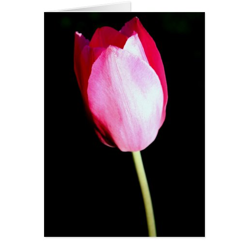 """""""Pretty In Pink"""" Tulip Photography Greeting Card"""