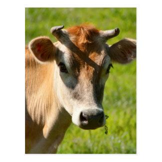 Pretty Jersey Cow Stare Postcard