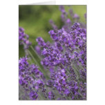 Pretty Lavender Fields Greeting Cards