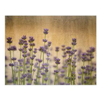 Pretty Lavender Flowers Postcard
