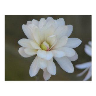 Pretty Magnolia Centennial Postcard