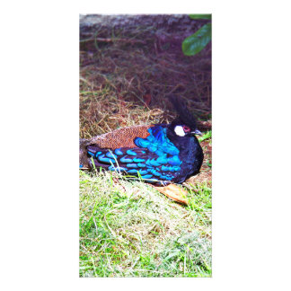 Pretty Male palawan peacock-pheasant Bird sitting Card