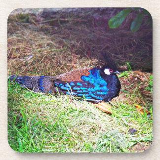 Pretty Male palawan peacock-pheasant Bird sitting Beverage Coaster