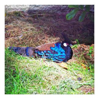 Pretty Male palawan peacock-pheasant Bird sitting Photo Print