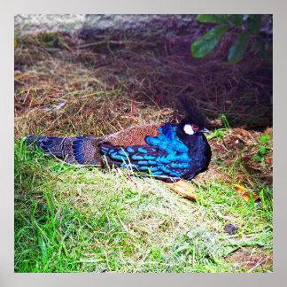 Pretty Male palawan peacock-pheasant Bird sitting Poster