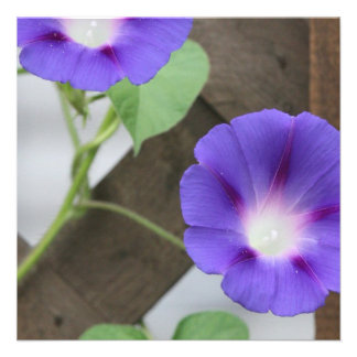 Pretty Morning Glories Announcement