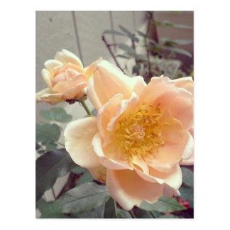 Pretty Morning Rose Photography Postcard