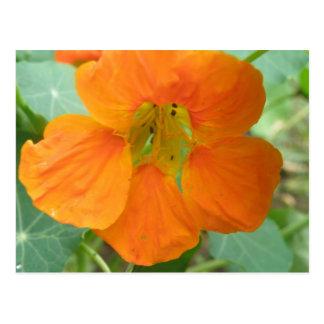 Pretty Orange Nasturtium Flower Postcard