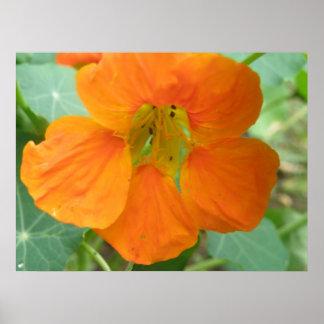 Pretty Orange Nasturtium Flower Print