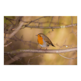 Pretty Orange Robin In The Woods Poster