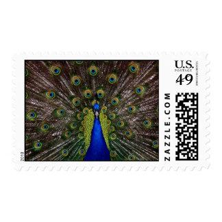 Pretty peacock postage