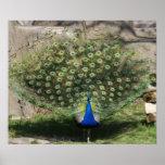 """""""Pretty Peacock"""" Poster"""