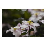Pretty Pink Clematis flower Poster