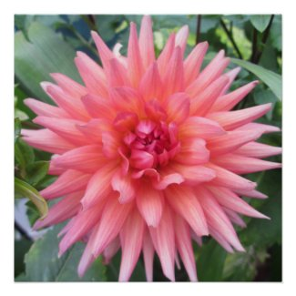 Pretty Pink Dahlia Flower