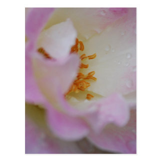 Pretty pink macro rose postcard