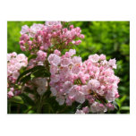 Pretty Pink Mountain Laurel Flowers Postcard