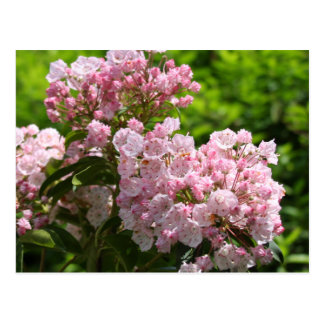 Pretty Pink Mountain Laurel Flowers Post Cards