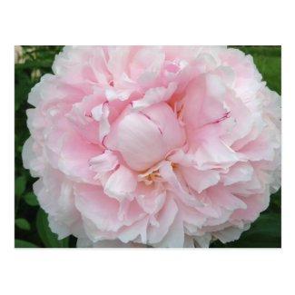 Pretty Pink Peony Flower