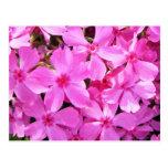 Pretty Pink Phlox Post Cards