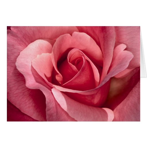 Pretty Pink Rose Greeting Cards