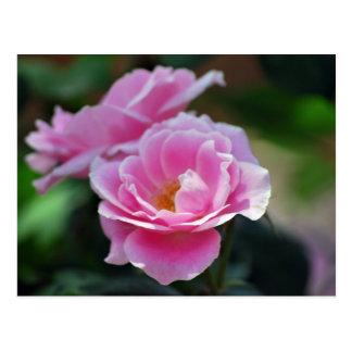 Pretty pink roses postcard