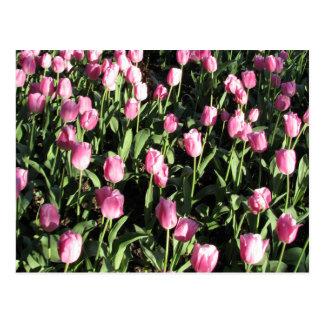 Pretty pink tulip garden postcard