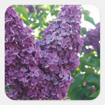 Pretty Purple Lilacs Square Sticker by PerennialGardens at Zazzle