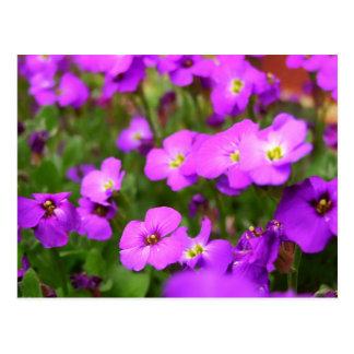 Pretty Purple Pansies Postcard