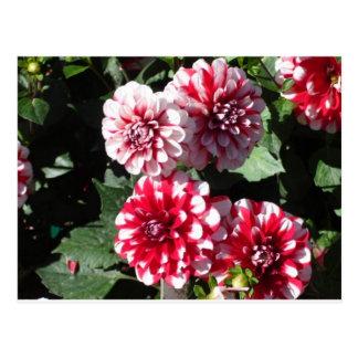 Pretty Red and White Dahlia Flowers Postcard
