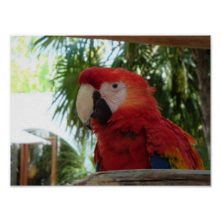 Pretty Red Parrot Poster
